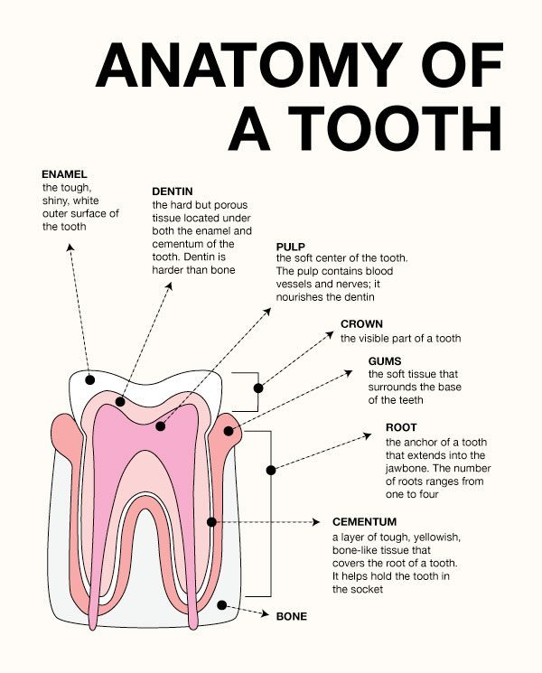 My Family Dentistry Infographic: The Anatomy of a Tooth